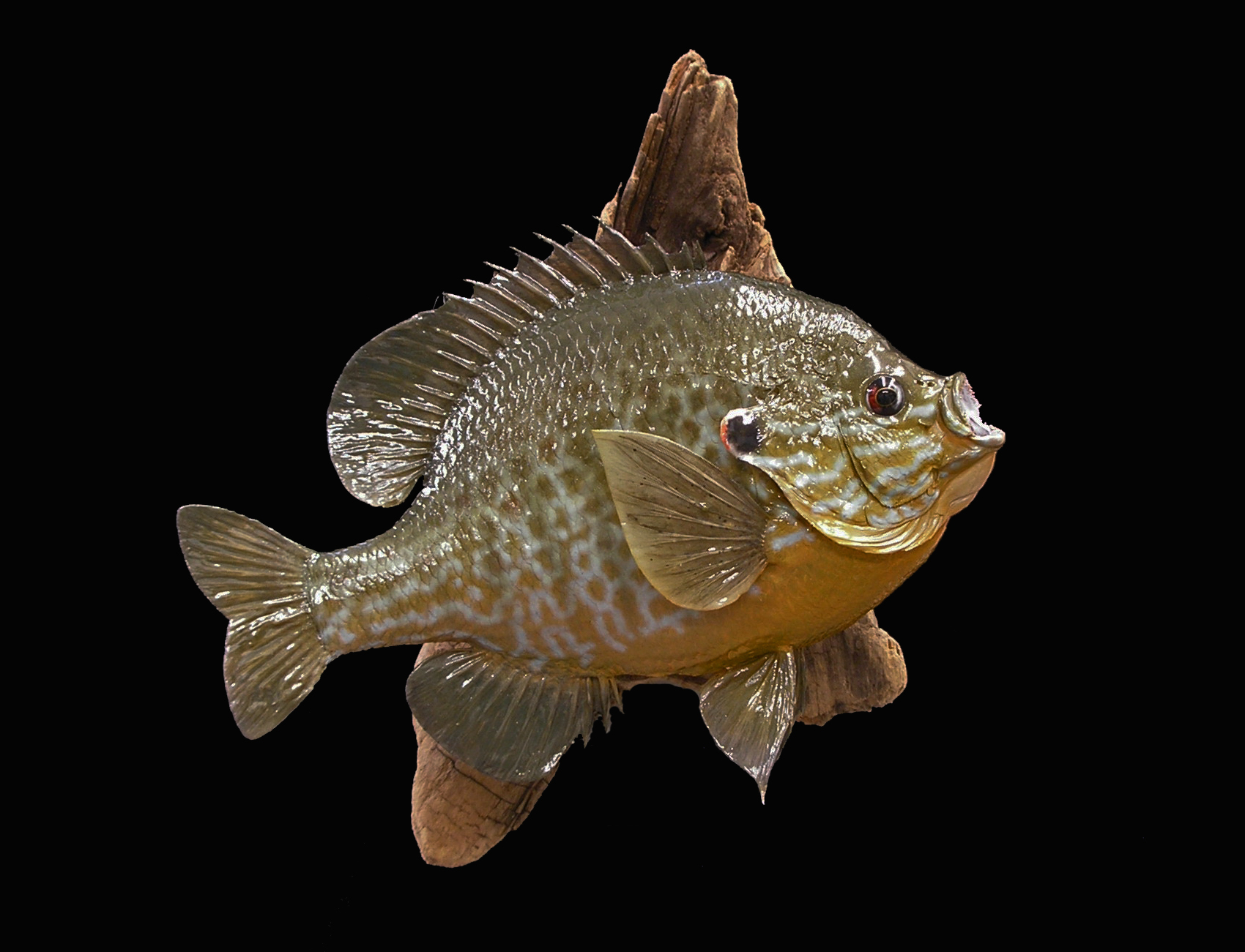 Pumpkinseed sunfish for Sun perch fish